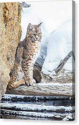 Bobcats Canvas Print - Wyoming, Yellowstone National Park by Elizabeth Boehm