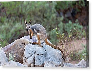 Yellow-footed Rock-wallaby (petrogale Canvas Print