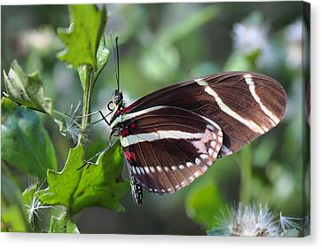 Zebra Longwing Butterfly Canvas Print by Rudy Umans