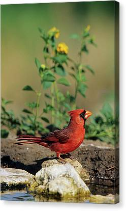Neotropical Canvas Print - Northern Cardinal (cardinalis Cardinalis by Richard and Susan Day