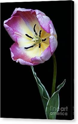 Tulip Tulipa Gesneriana Canvas Print by Dr. Nick Kurzenko