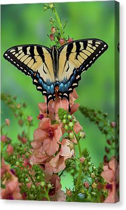 Tiger Swallowtail Canvas Print - Eastern Tiger Swallowtail Butterfly by Darrell Gulin