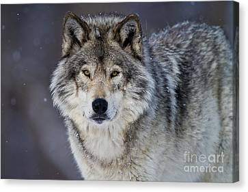 Wolf Pics Canvas Print - Timber Wolf by Michael Cummings