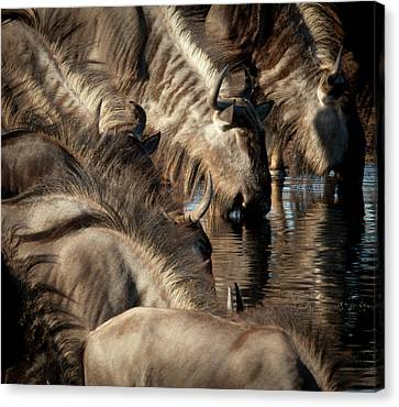 Gnu Canvas Print - Africa, Namibia, Etosha National Park by Jaynes Gallery