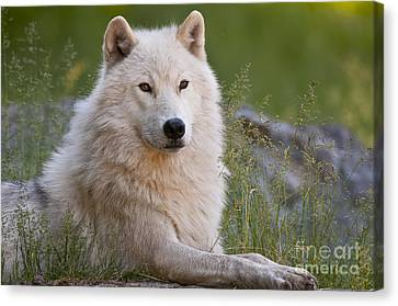 Arctic Wolf Canvas Print by Wolves Only