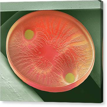 Diatom Canvas Print by Steve Gschmeissner