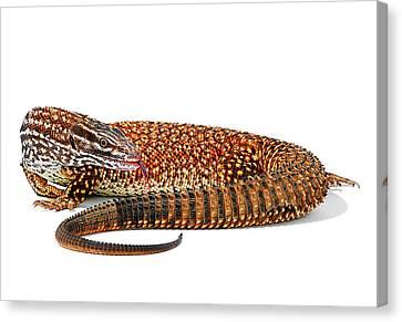 Australian Reptiles On White Canvas Print