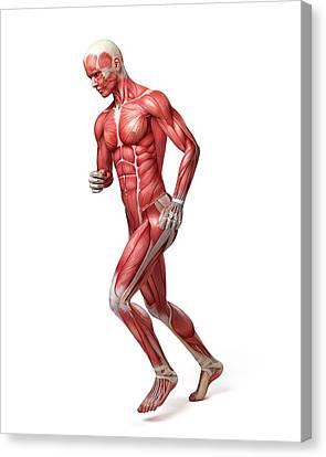 Male Muscular System Canvas Print by Sebastian Kaulitzki