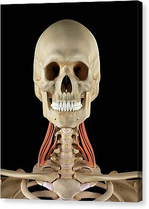 Normal Canvas Print - Human Neck Muscles by Sciepro
