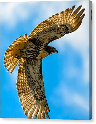 Red-tailed Hawk Canvas Print by Brian Stevens