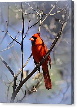 3477-006- Northern Cardinal Canvas Print
