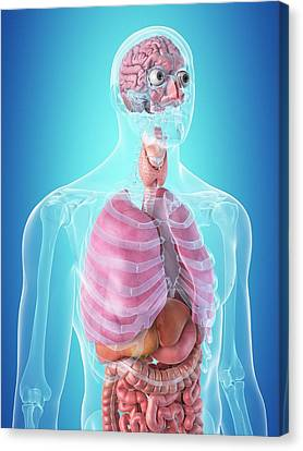 Normal Canvas Print - Human Internal Organs by Sciepro