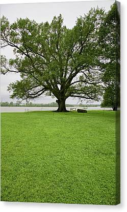 350 Year Old Willow-oak Of Shirley Canvas Print