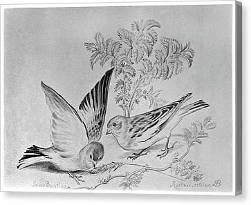 Bunting Canvas Print - Blackburn Birds, 1895 by Granger