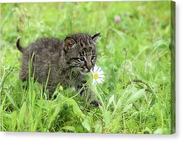 Bobcat Kittens Canvas Print - Usa, Minnesota, Sandstone, Minnesota by Rona Schwarz
