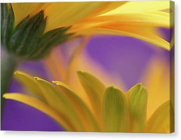 Flowers Gerbera Canvas Print - Usa, Pennsylvania by Jaynes Gallery