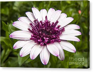 3d Berry White Cape Daisy - Osteospermum  Canvas Print by Darleen Stry