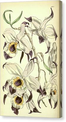 19th Century Botanical Colour  Print. Botanical Illustration Canvas Print by Quint Lox