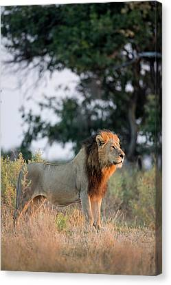 Threatening Canvas Print - Africa, Botswana, Moremi Game Reserve by Paul Souders