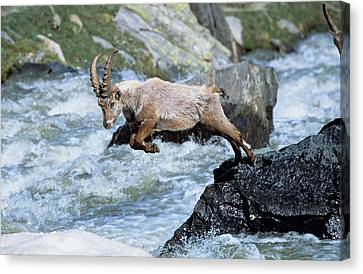 Courage Canvas Print - Alpine Ibex (capra Ibex by Martin Zwick