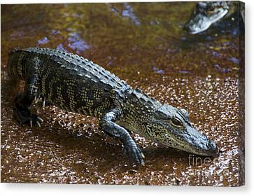 American Alligator Canvas Print by Mark Newman