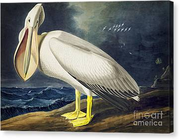 American White Pelican Canvas Print by Celestial Images