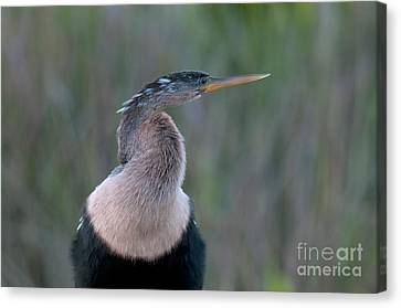 Anhinga Canvas Print by Mark Newman