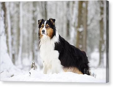 Australian Shepherd Dog Canvas Print by John Daniels