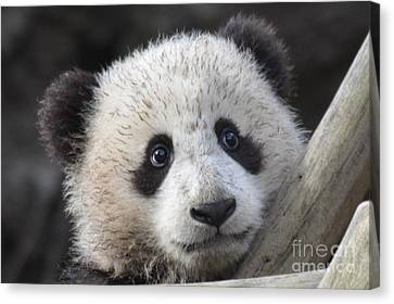 Baby Giant Panda Canvas Print by Mark Newman