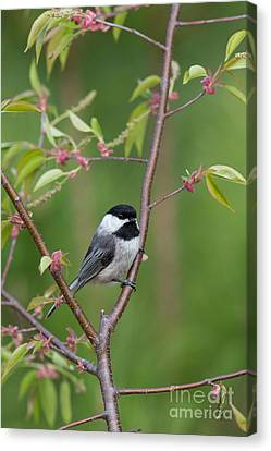 Black-capped Chickadee Poecile Canvas Print by Linda Freshwaters Arndt