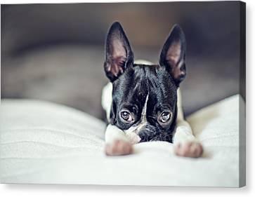 Boston Canvas Print - Boston Terrier Puppy by Nailia Schwarz