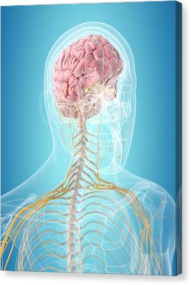 Brain And Nerves Canvas Print by Sciepro