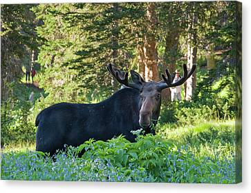Bull Moose (alces Alces Canvas Print