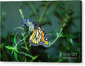Butterfly  Canvas Print by Jeff Swan
