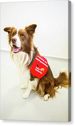 Cancer Canvas Print - Cancer Detection Dog Training by Louise Murray