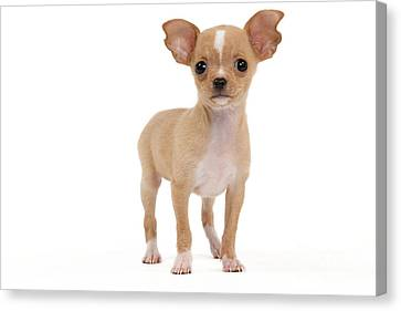 Chihuahua Puppy Dog Canvas Print