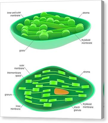 Chloroplast Canvas Print by Science Photo Library