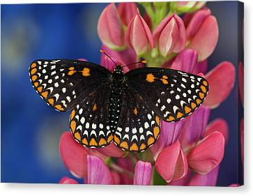 Colorful Baltimore Checkered Spot Canvas Print