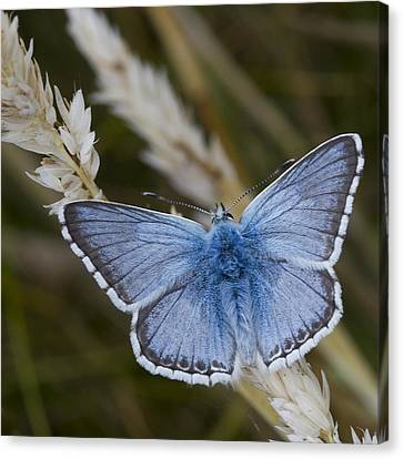 Common Blue Butterfly Canvas Print by Shirley Mitchell