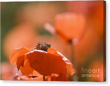 Common Poppies Papaver Rhoeas Canvas Print by Adrian Bicker