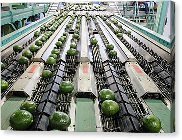 Computerized Avocado Packing Canvas Print by Photostock-israel