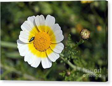 Crown Daisy Flower Canvas Print by George Atsametakis