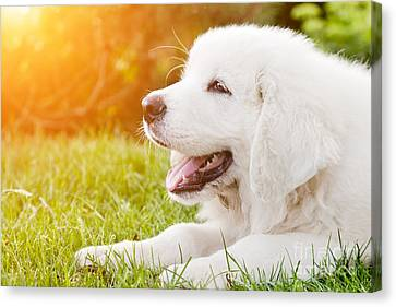 Cute White Puppy Dog Lying On Grass Canvas Print by Michal Bednarek