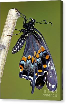Eastern Black Swallowtail Metamorphosis Canvas Print by Millard H. Sharp