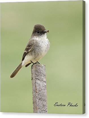 David Lester Canvas Print - Eastern Phoebe by David Lester