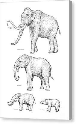 Elephant Evolution, Artwork Canvas Print by Gary Hincks