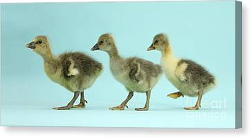 House Pet Canvas Print - Embden X Greylag Goslings by Mark Taylor