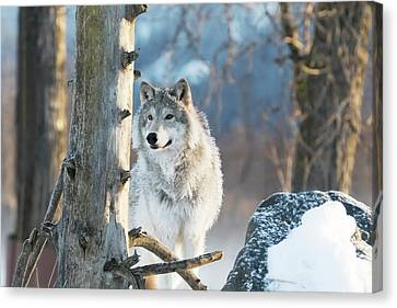 Female Gray Wolf  Canis Lupus Canvas Print