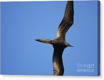 Flying Great Frigate Canvas Print by Sami Sarkis