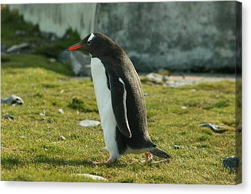 Brushtail Canvas Print - Gentoo Penguin by Amanda Stadther